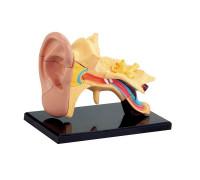 Набор для исследований Модель анатомия уха сборная Edu-Toys