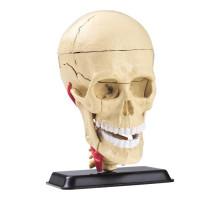 Набір для досліджень Модель черепа з нервами збірна Edu-Toys
